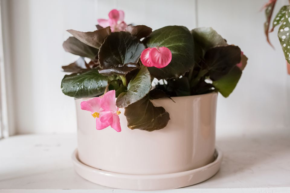 potted begonia plant