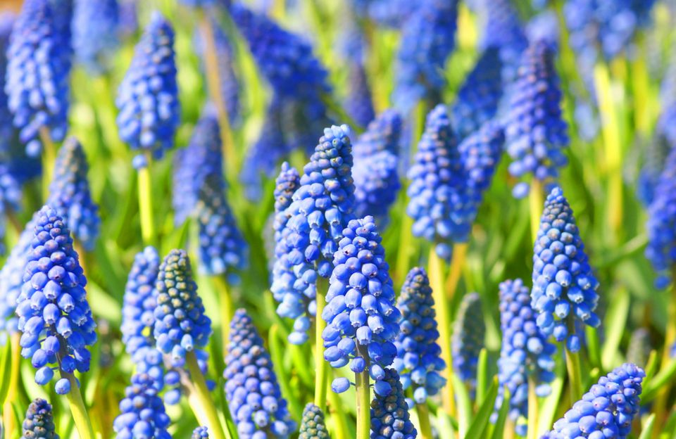 Grape Hyacinths, Muscari Bulbs