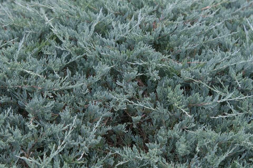 Yukon belle creeping juniper closeup