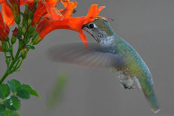Hummingbird gathering pollen