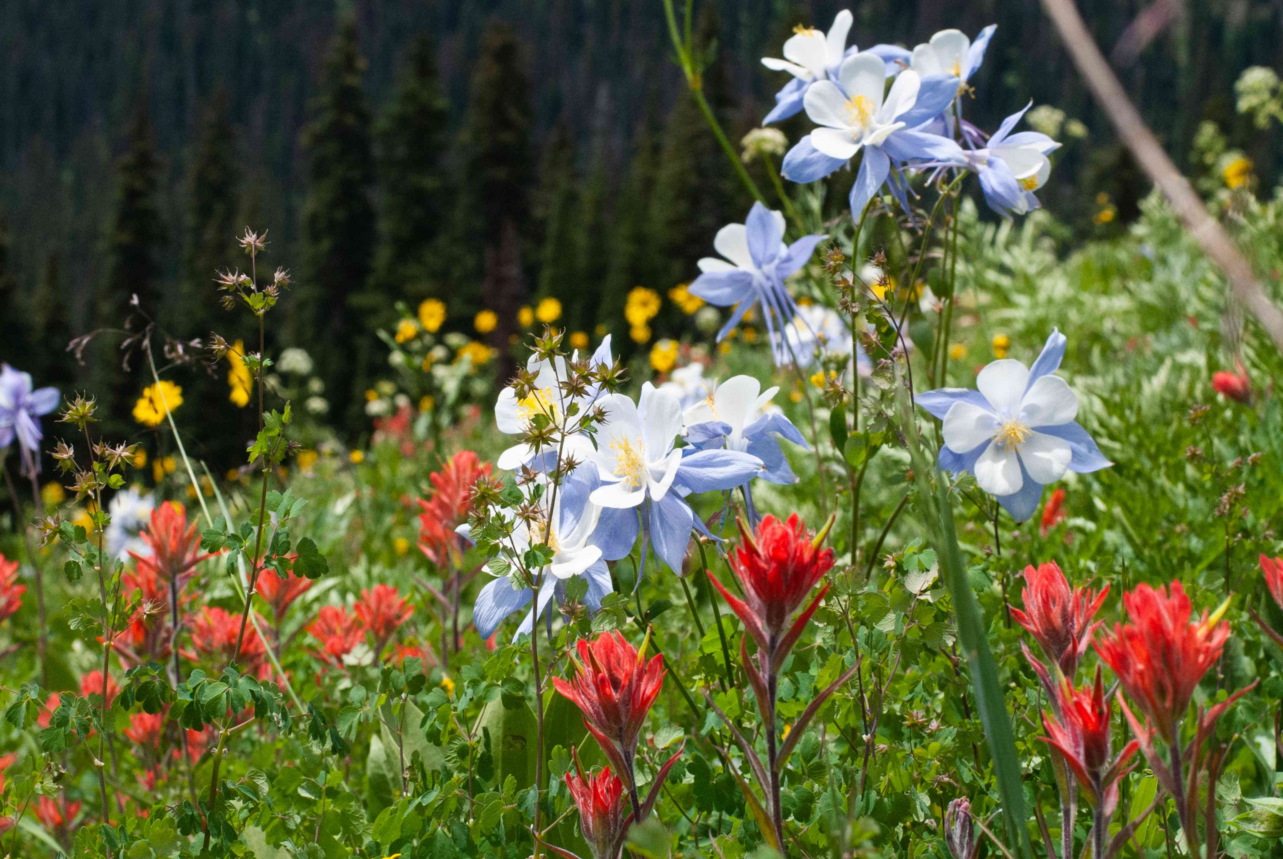 Scarlet painted cup plants with red bract flowers growing in garden with light blue and yellow flowers