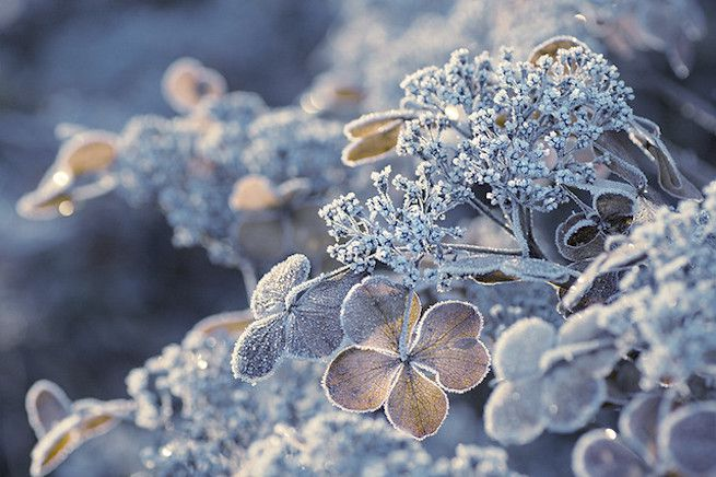 Hydrangea shrub touched by frost