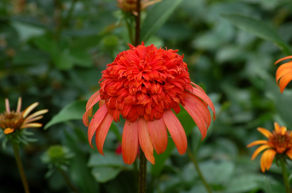 Image of Echinacea 'Secret Lust,' a type of coneflower.