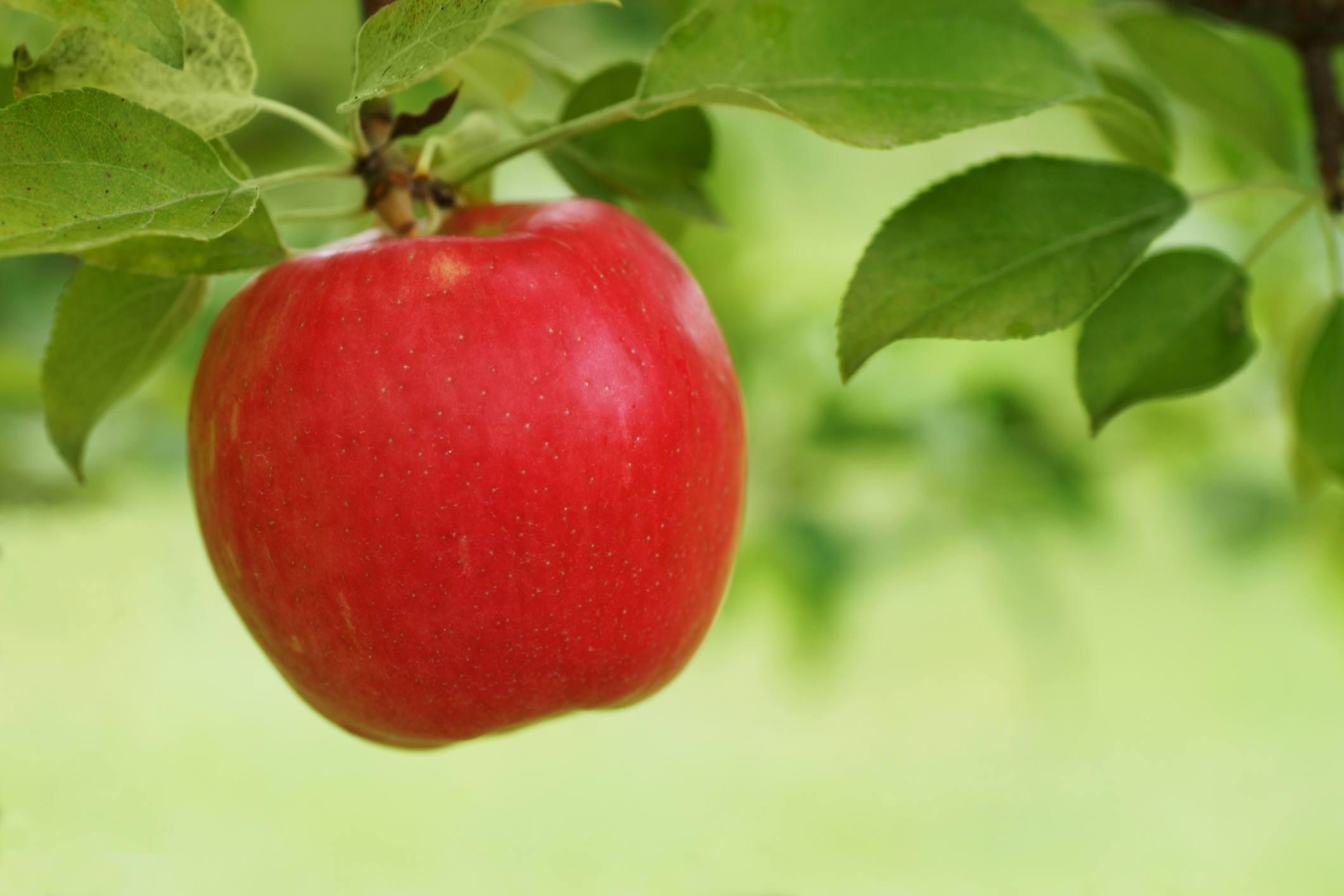 Red Honeycrisp apple hanging from tree.
