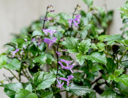 Mona lavender plant with small purple tubular flowers on thin spikes surrounded by leaves