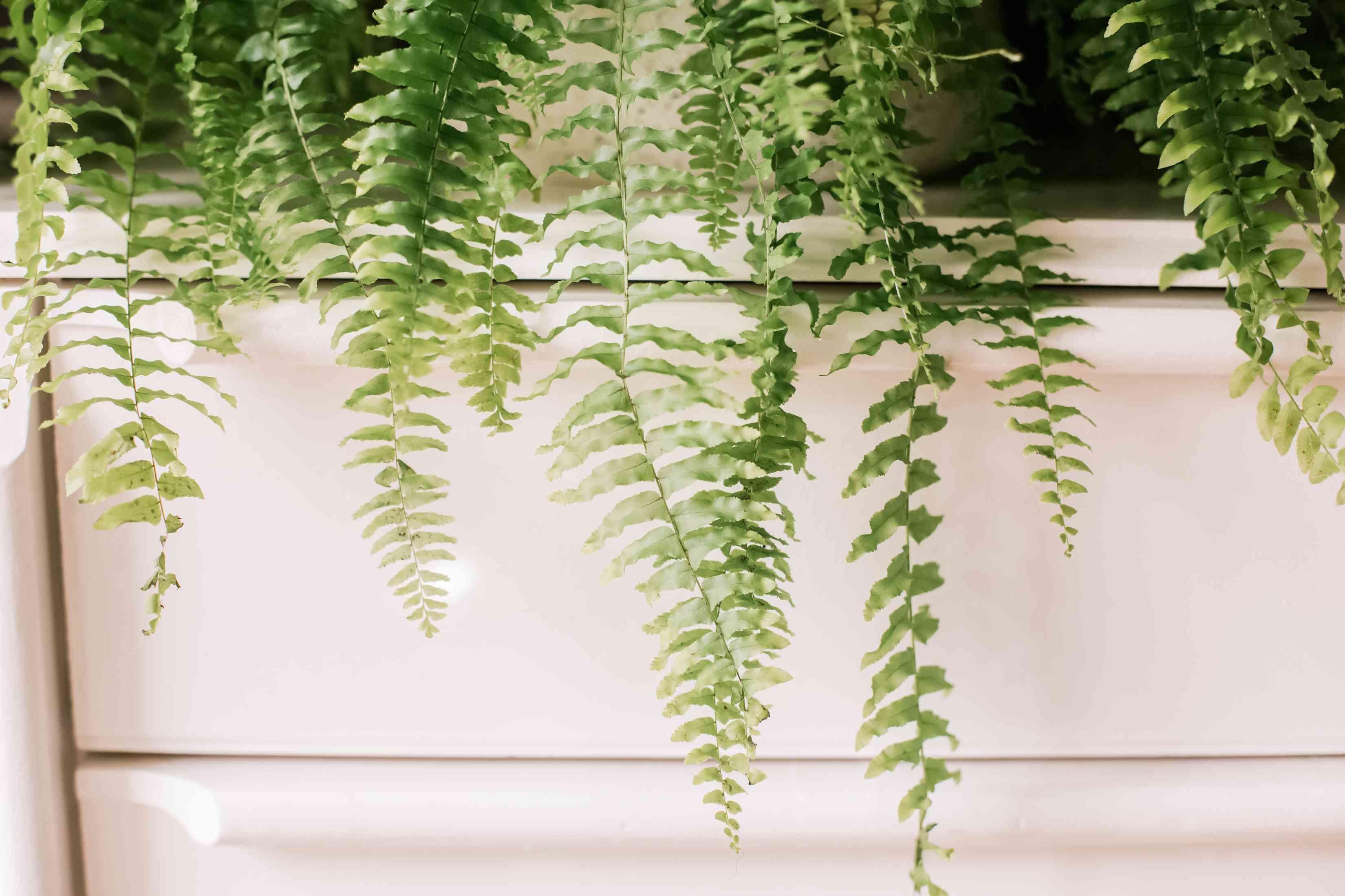 Boston fern leaf texture