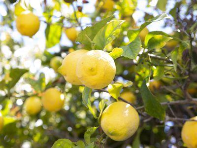Lisbon lemon tree branches with yellow lemon fruit hanging