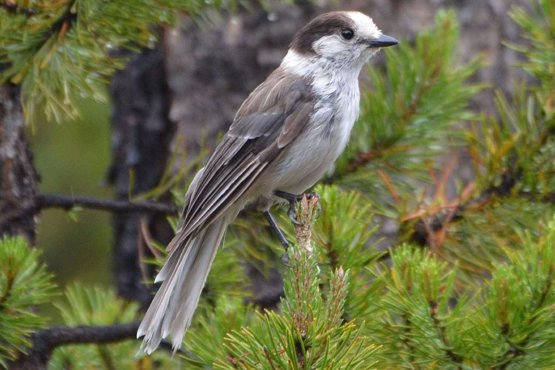 Grey Jay - Canada Jay