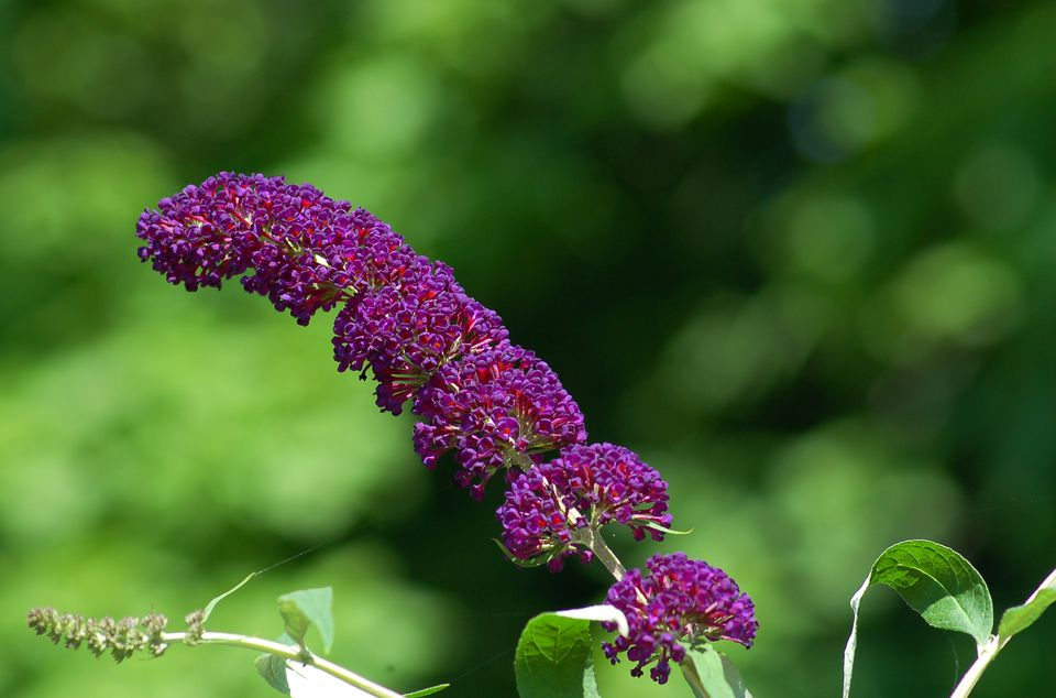 Butterfly bush (image) is pretty, a butterfly magnet - and invasive in many areas. It's perennial.