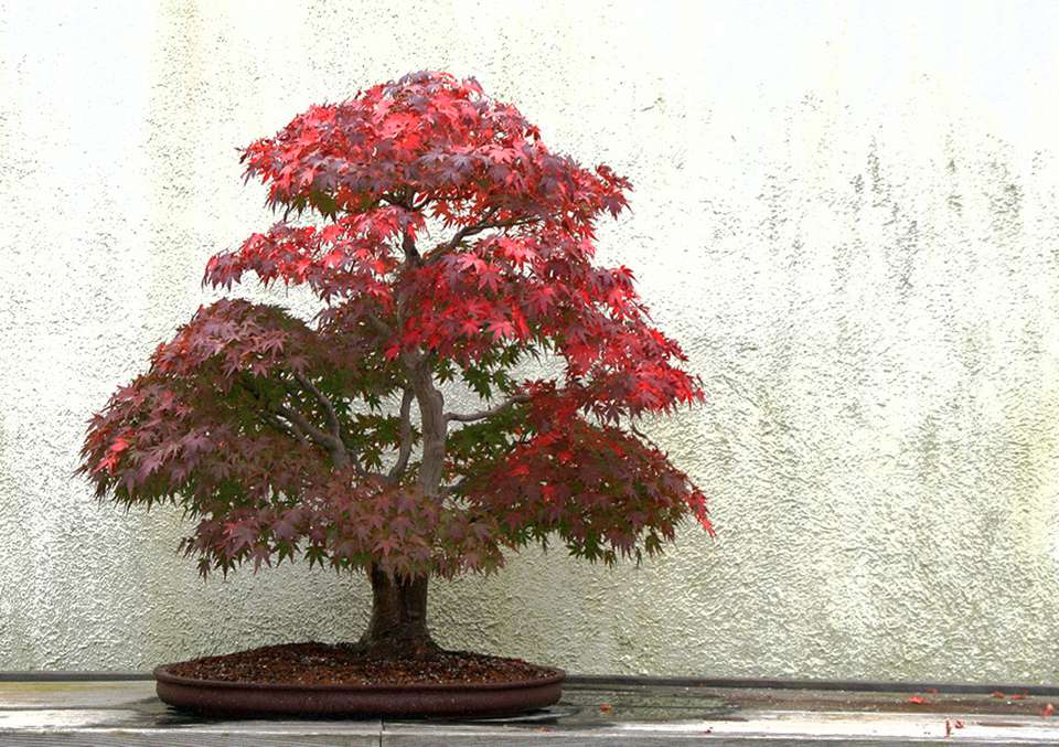Japanese maple (Acer palmatum) bonsai tree with bright red foliage in a shallow brown pot against a white background.