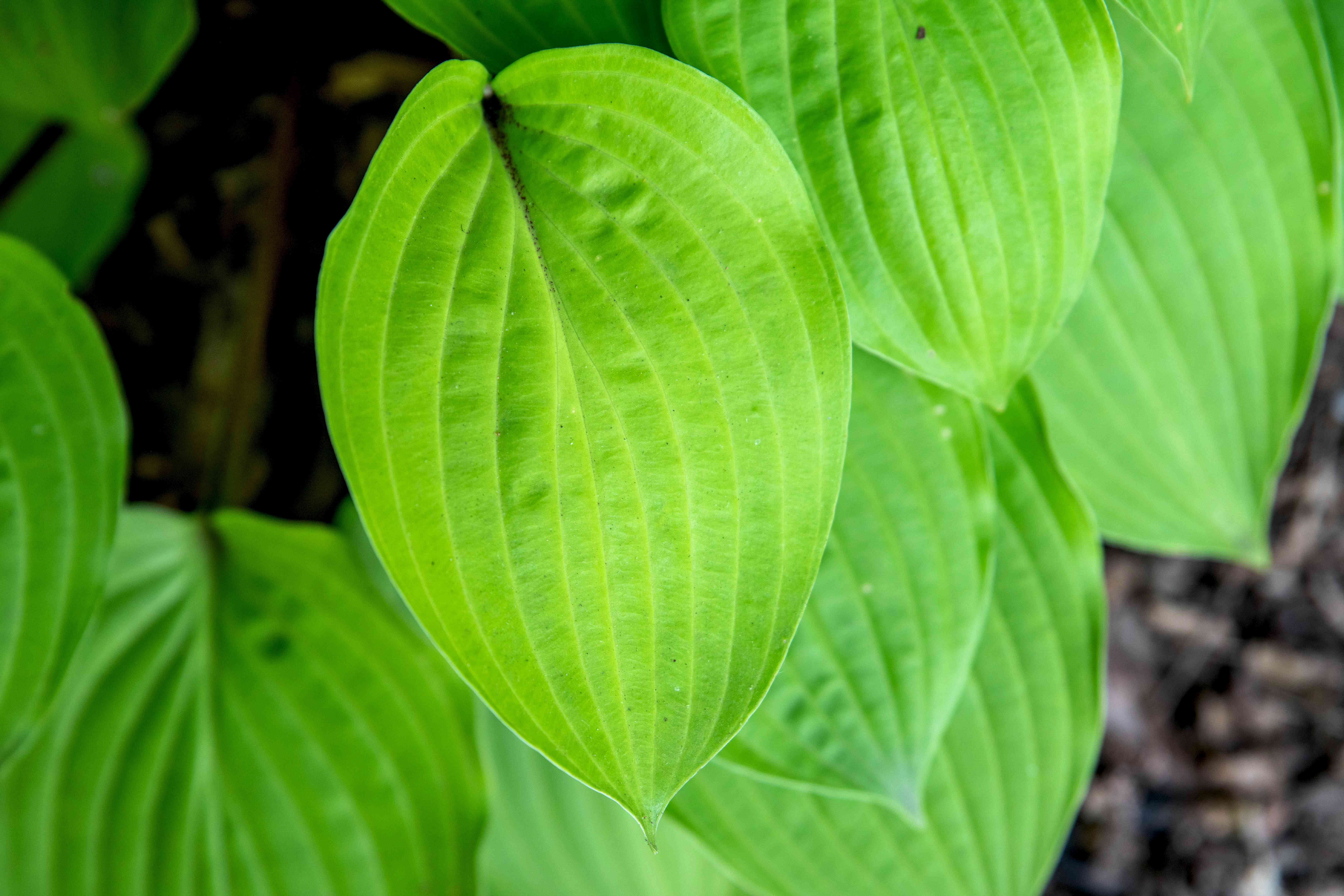 Fire island hosta plant with ribbed and bright green leaf closeup
