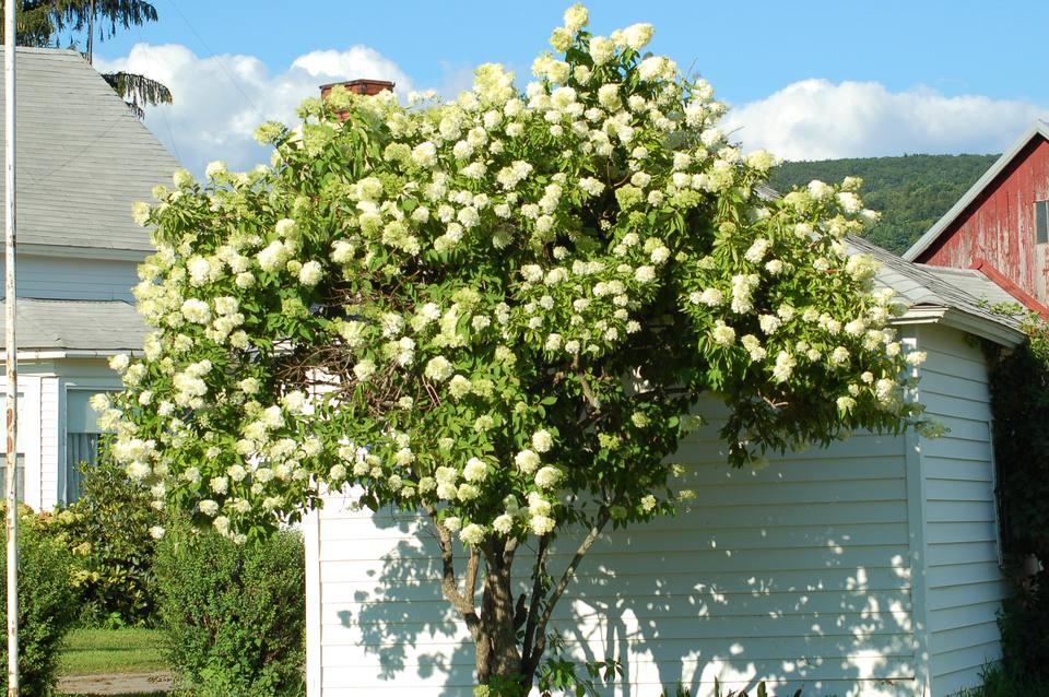 "A Peegee hydrangea that has been trained to look like a ""tree."""