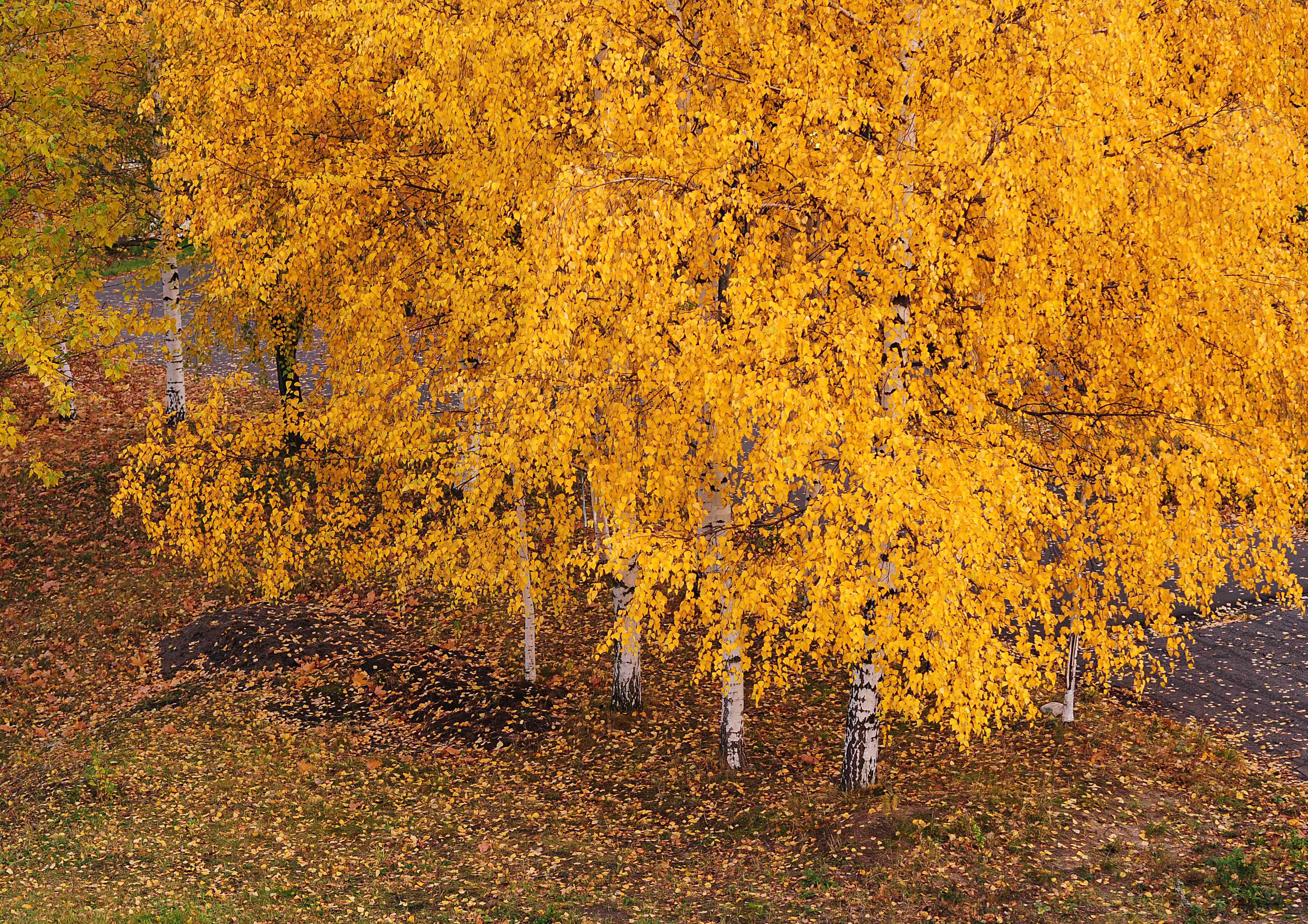 Silver birch trees with yellow leaves with leaves on ground