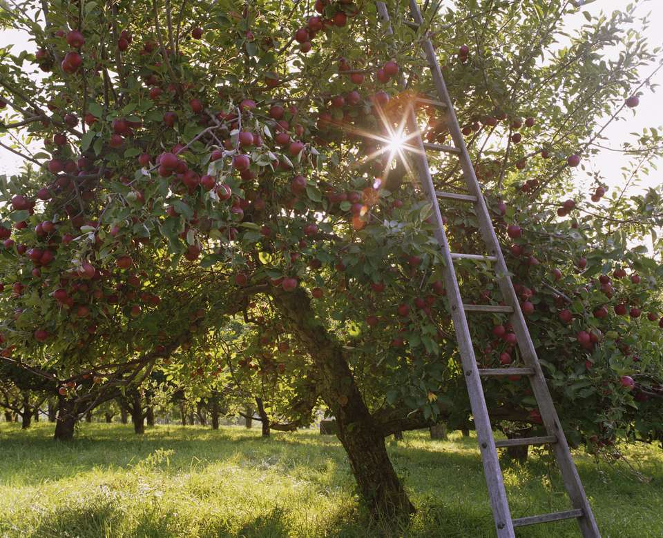 Ladder leaning against apple tree