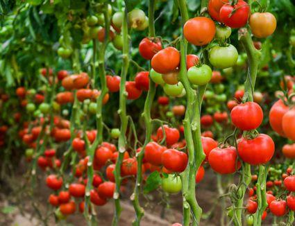 vining tomatoes