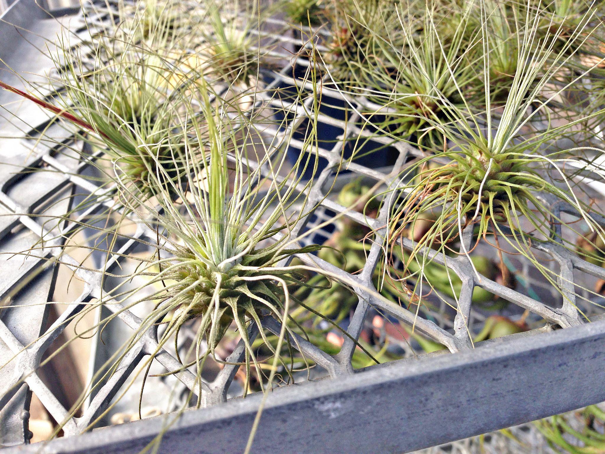 Planta de aire - Tillandsia fuchsii