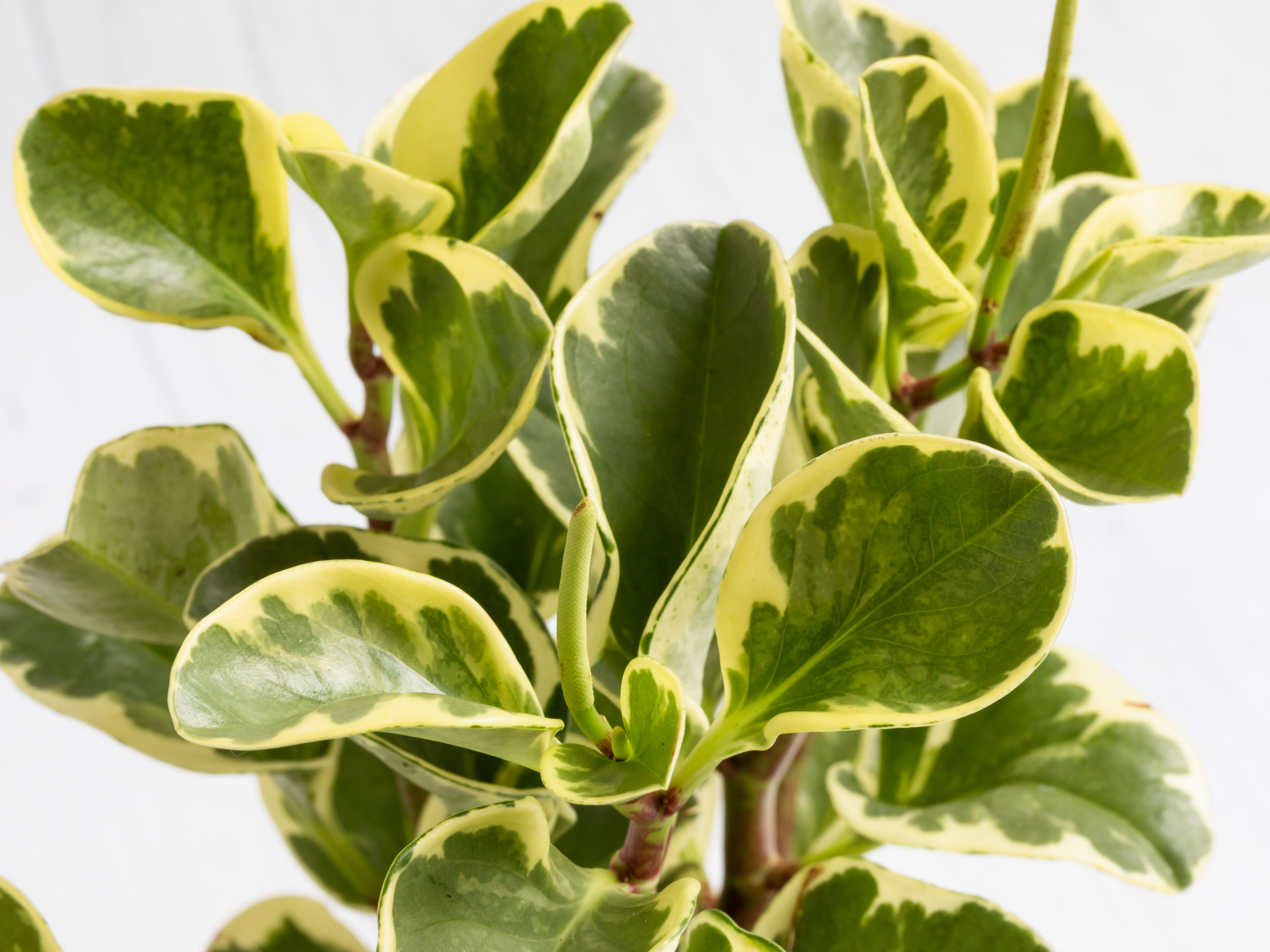 Peperomia Plants Indoor Care And Growing Guide