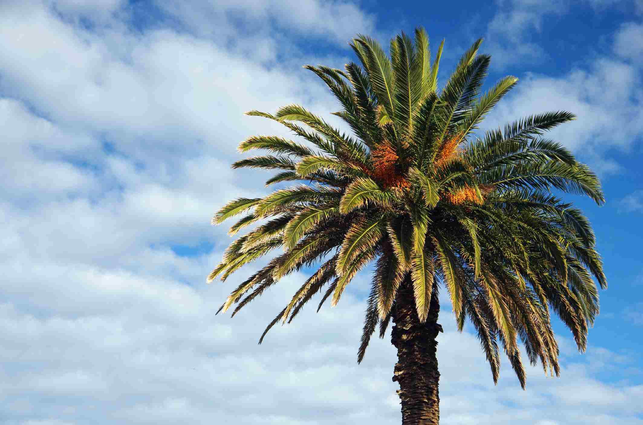 palmera datilera canaria