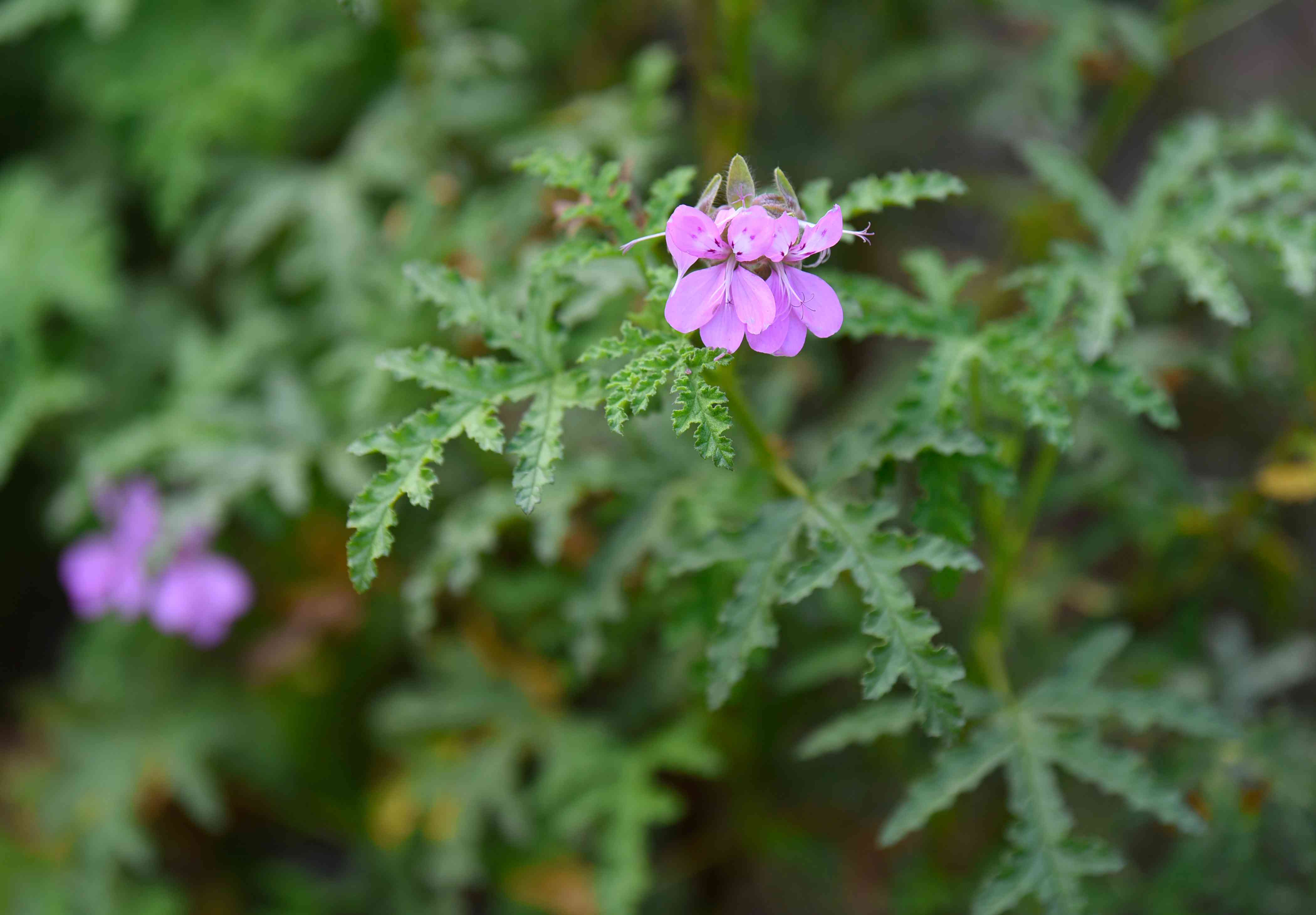Scented-leaved geranium plant with curling leaves and small white flowers closeup