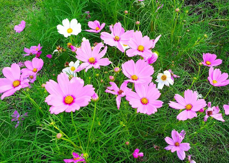 Pink Cosmos Mexican Aster