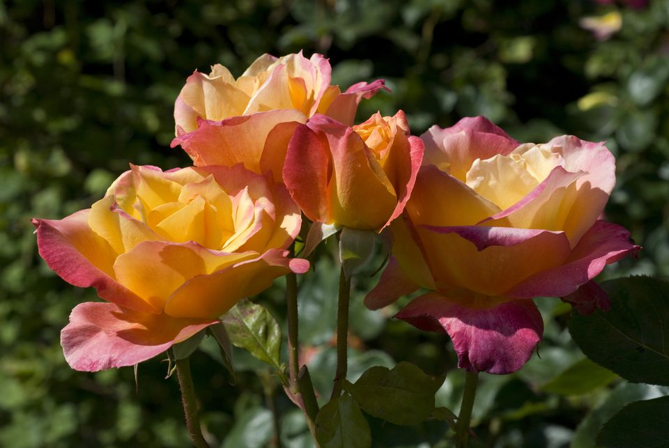 How To Grow And Care For Hybrid Tea Roses