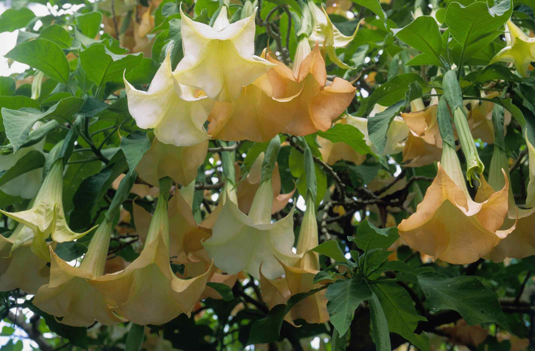 Brugmansia (Angels trumpets), close up of pendulous white flowers