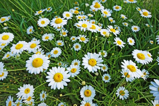 Oxeye daisies with white petals and yellow centers
