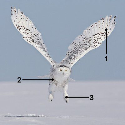 Identify a Snowy Owl in Flight
