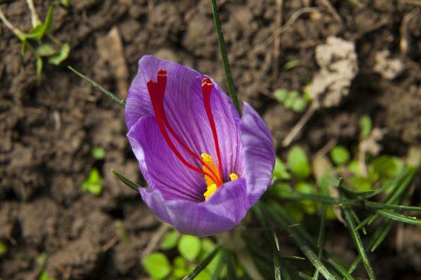 Close up of a purple Saffron Crocus