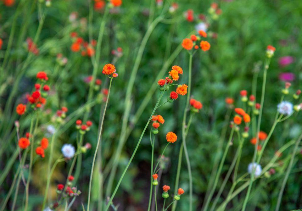 Scarlet tassel flowers with scarlet-orange pompon petals on thin stems