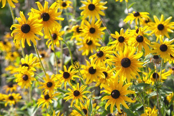 Black-eyed susan perennial plant in full sun