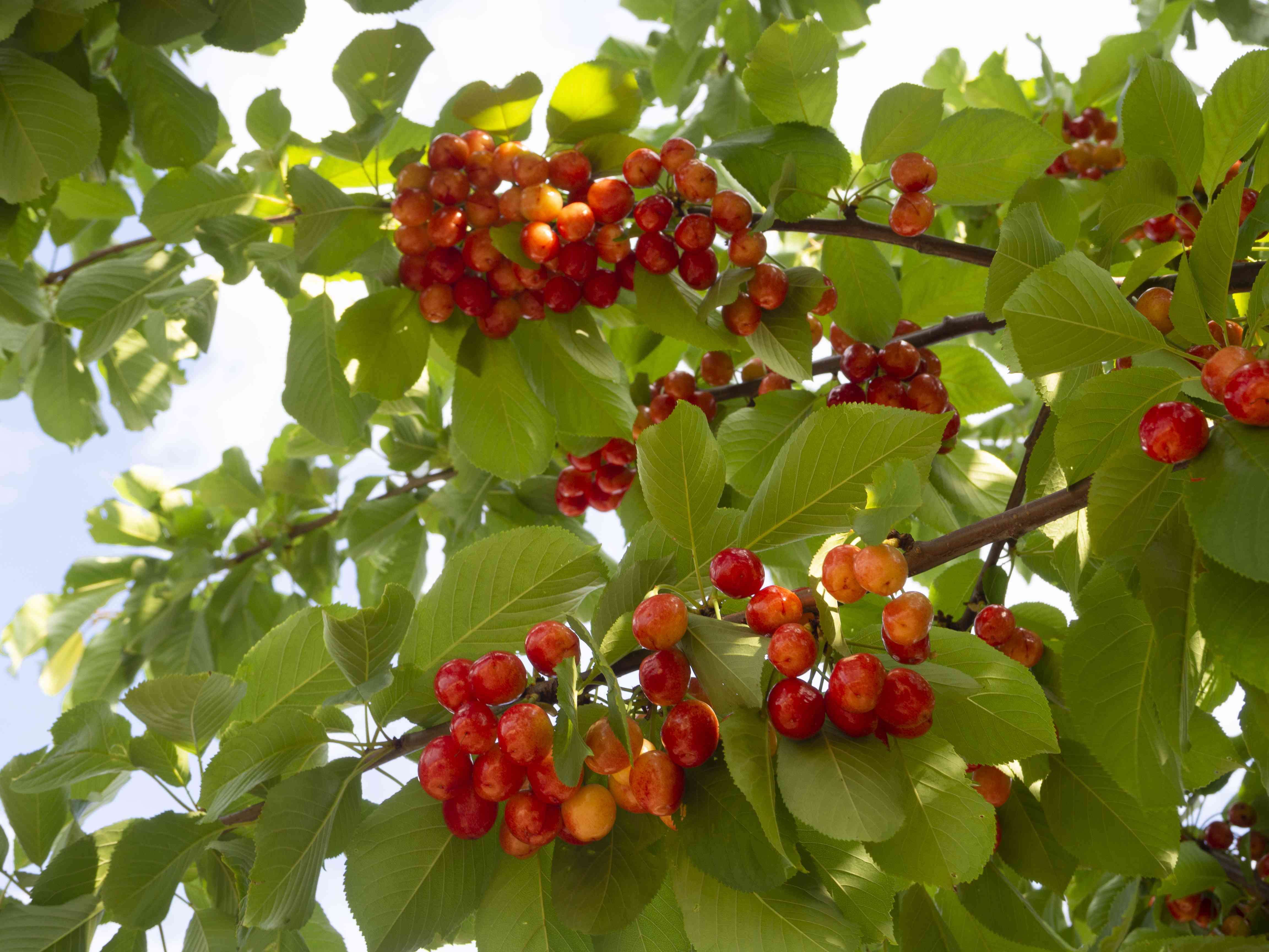Red cherries Prunus avium on the branches of a tree in a garden in Greece