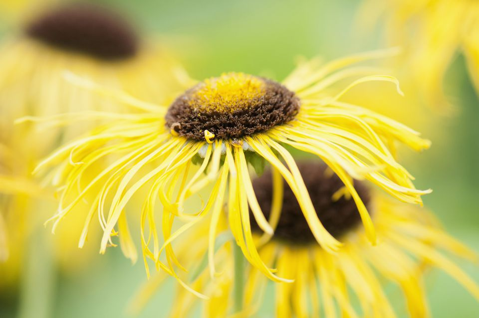Closeup of Elecampane
