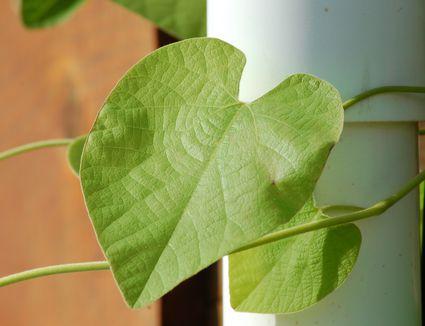 Incrediball Hydrangeas Pruning Care Information