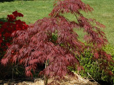 Brown Leaves On Japanese Maple Trees What S The Cause