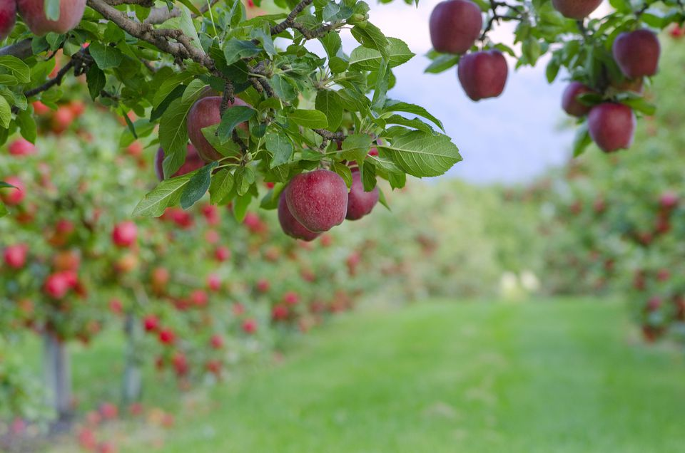 Red apples hanging from branches of apple trees