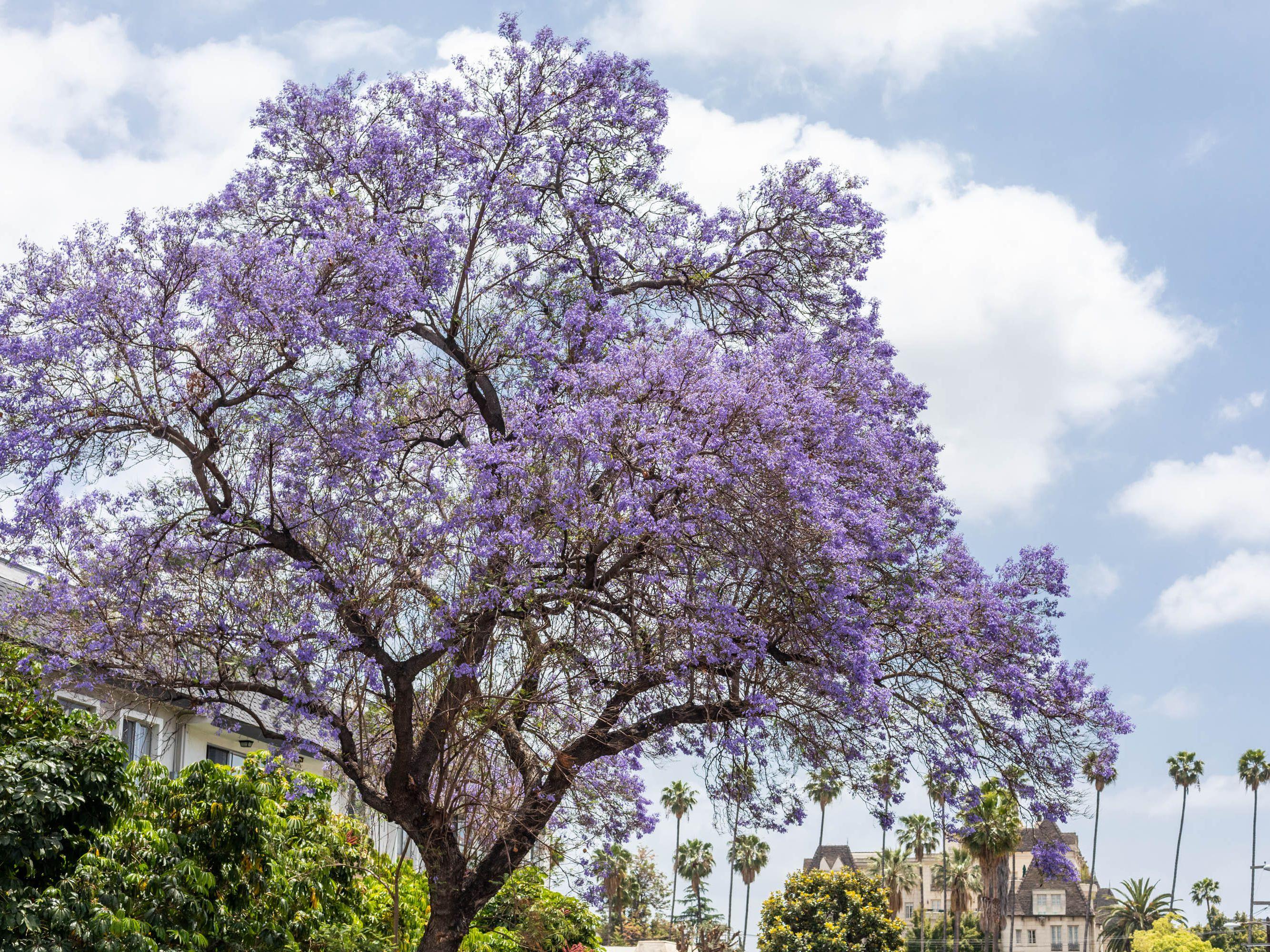 Jacaranda Tree Plant Care And Growing Guide