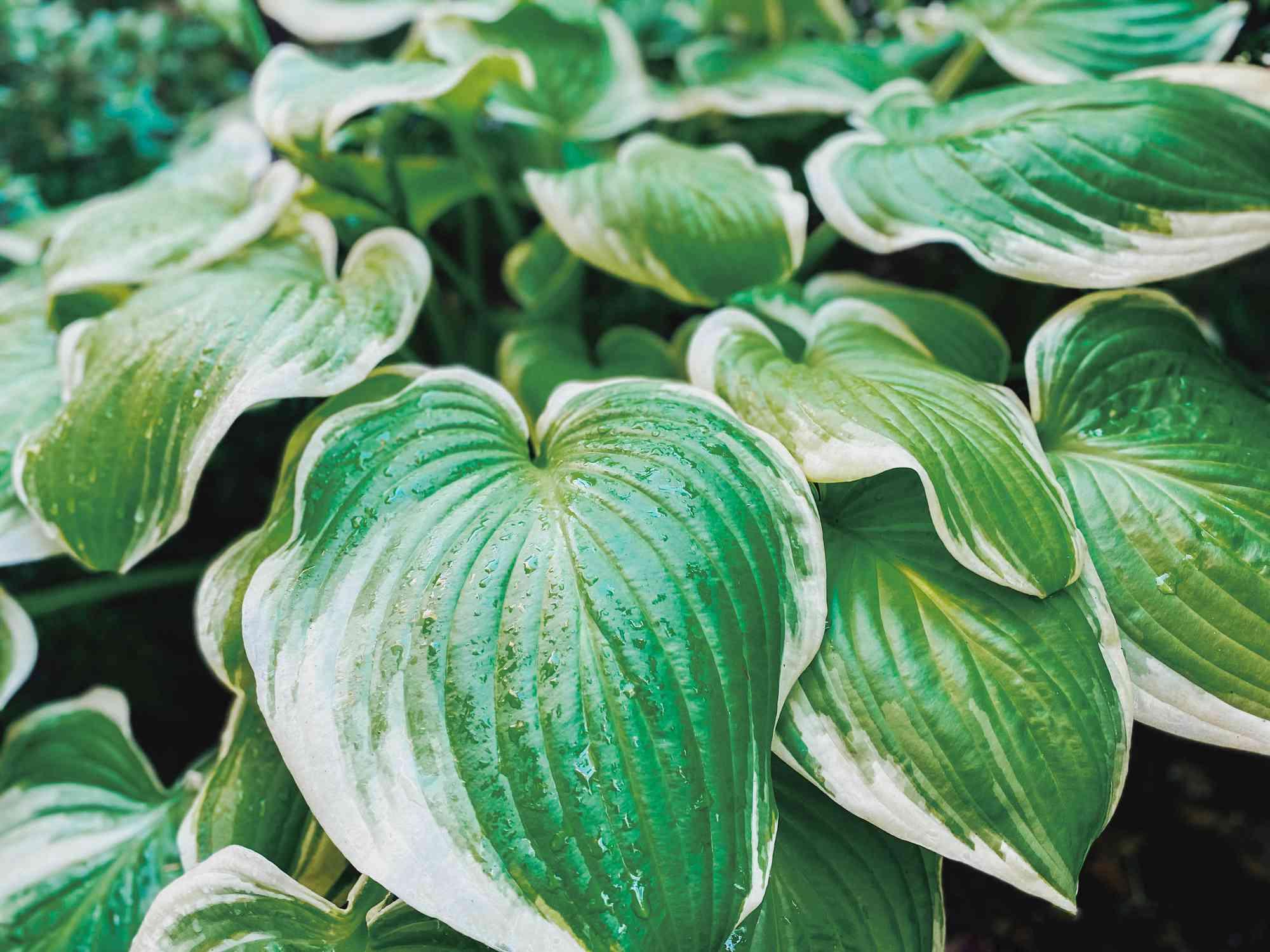 'Frozen Margarita' Hosta foliage close up