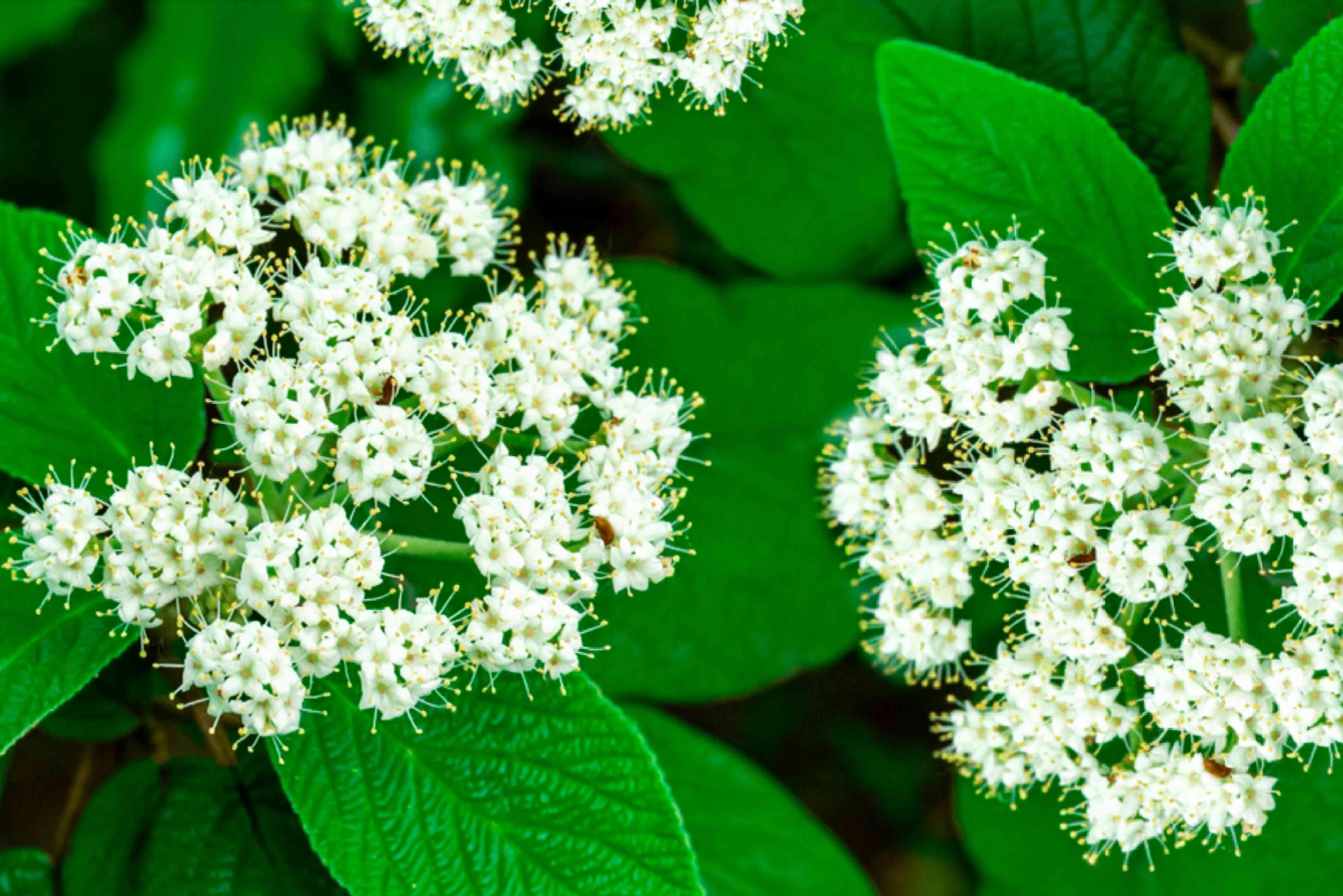 closeup of viburnum blooms