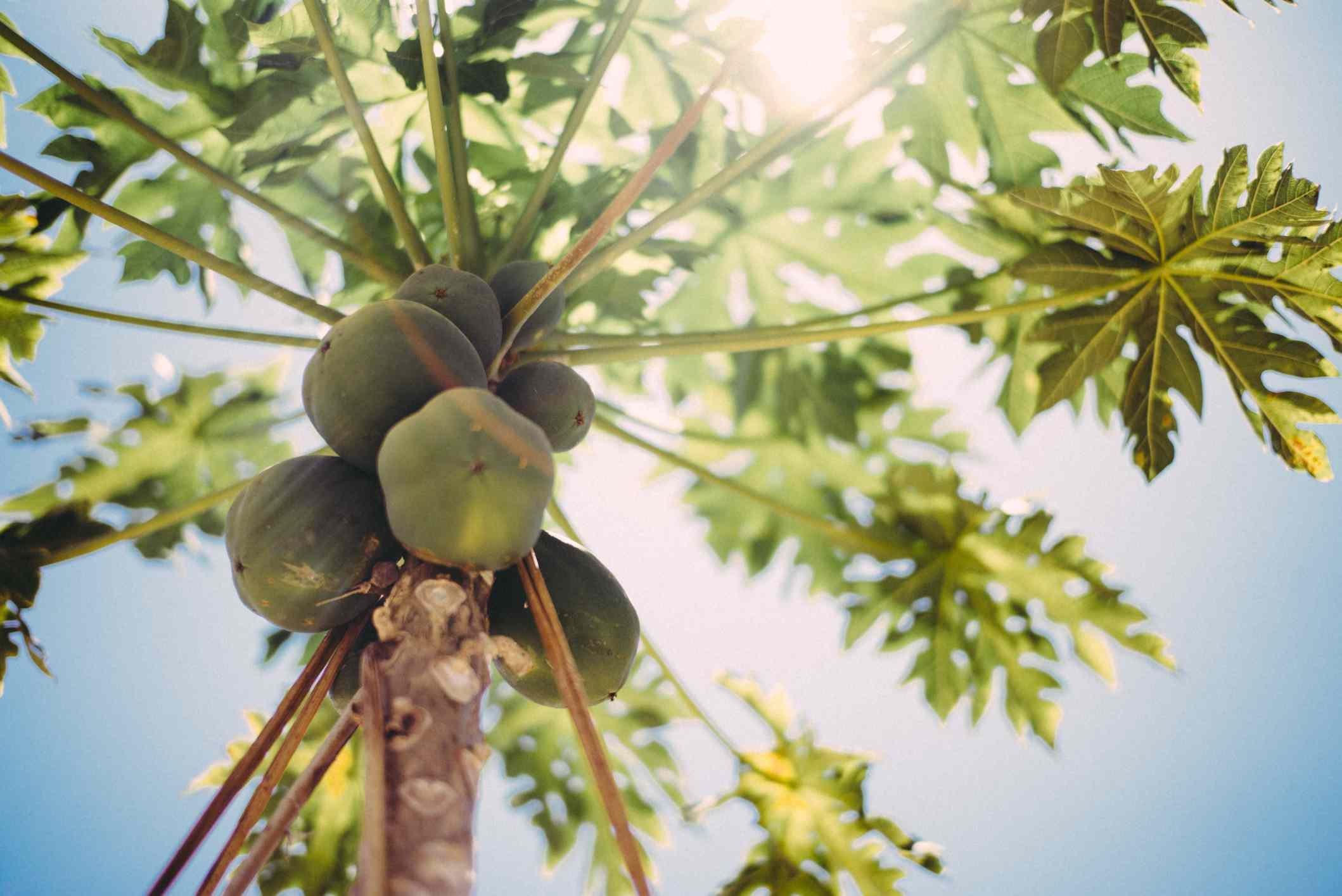 low angle of a papaya tree outdoors