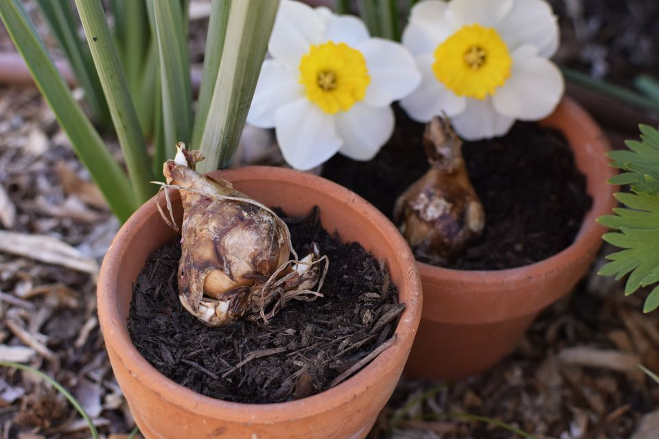 Spring blooming bulbs resting in pot of soil in front of white daffodils