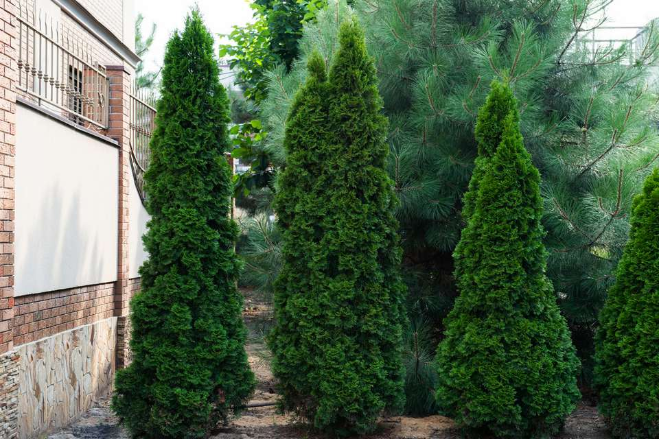 North pole arborvitae trees trimmed in columnar shapes near side of brick building