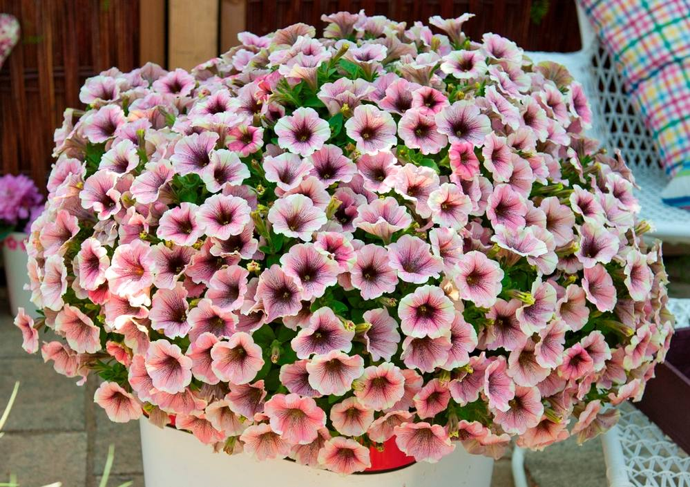 'Sweetunia White Merlot' petunias with pink and white petals and dark throats