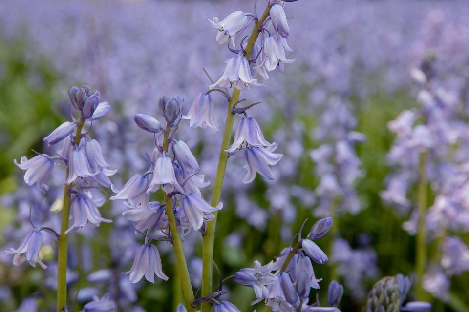 Bluebell flowers with light purple flowers in garden