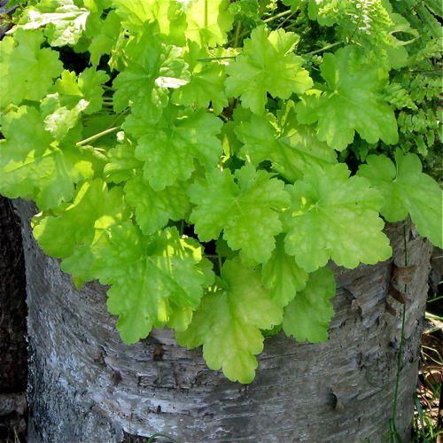 container garden picture of foliage plant heuchera