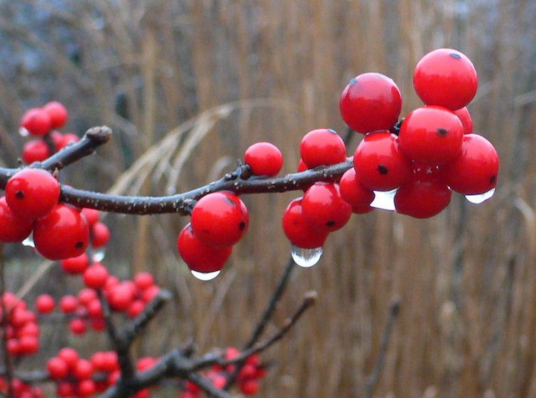 Bright red berries with raindrops on bare stems against a sere winter backdrop.