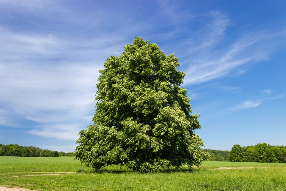 Lone linden tree in a field against a bright blue sky.