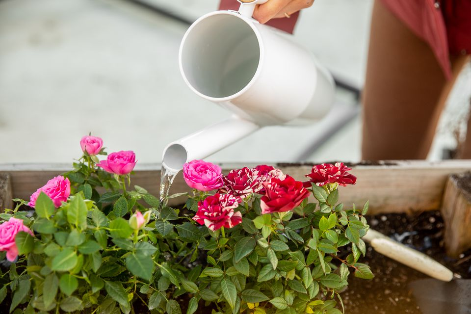 Roses in flower box watered by white watering can