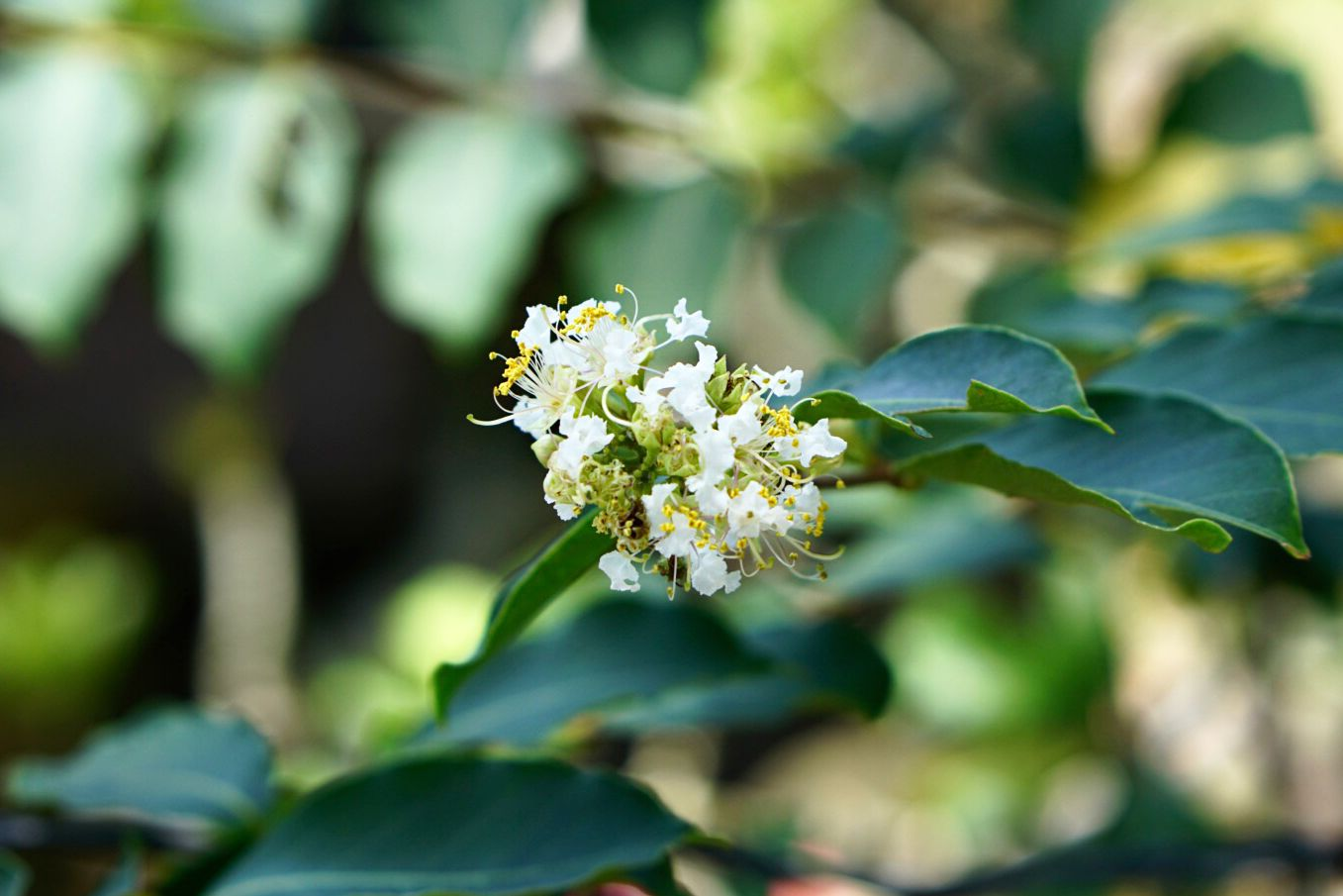 Natchez crepe myrtle tree branch with small white blossoms