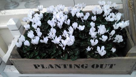 How to care for cyclamen plants high angle view of white cyclamen flowers growing in wooden box mightylinksfo